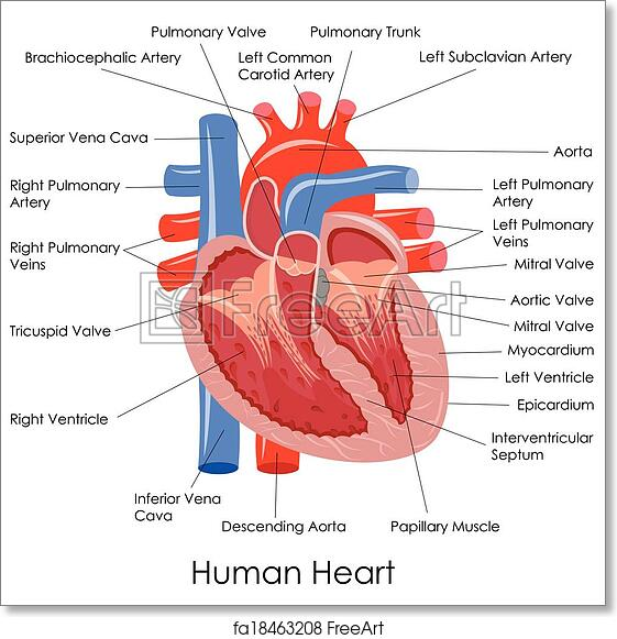 Free Art Print Of Human Heart Anatomy Vector Illustration Of