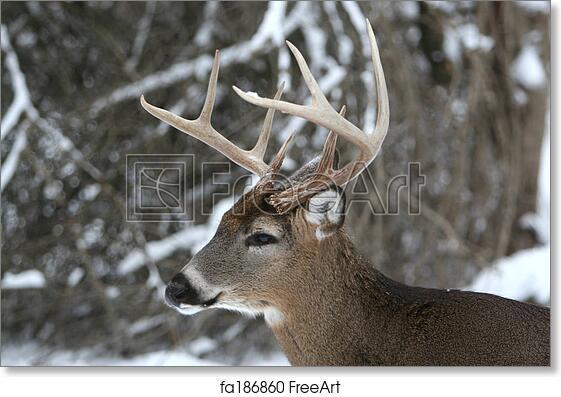 Free Art Print Of 8 Point Buck Deer Head Shot Photo Of A Big 8