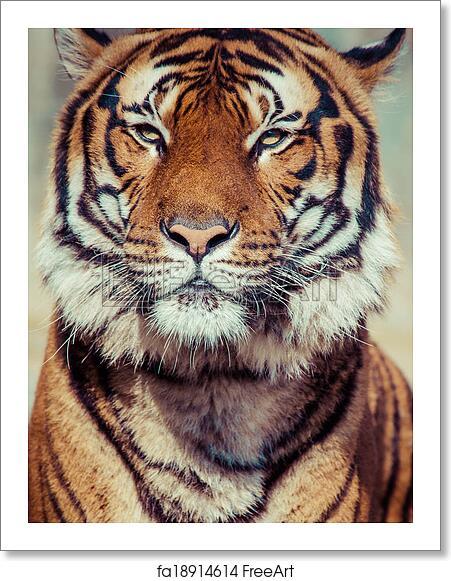 free art print of close up of a tigers face freeart fa18914614