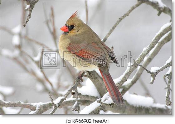 graphic relating to Free Printable Pictures of Cardinals named No cost artwork print of Woman Cardinal Inside of Snow