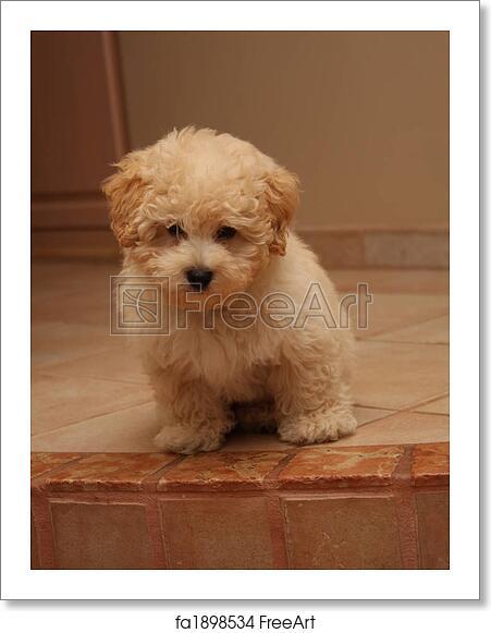 Free Art Print Of Puppy 10 Week Old Shih Poo Shih Tzu Poodle