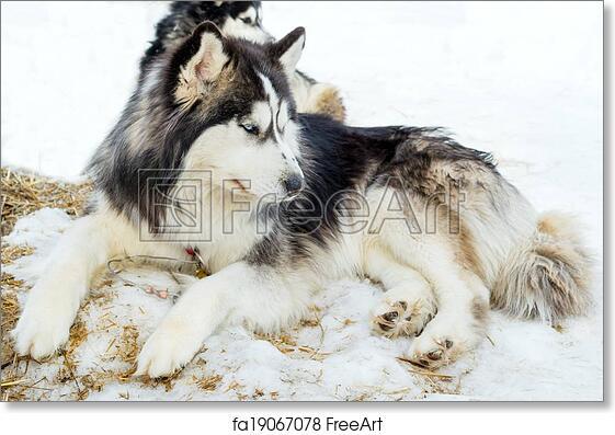 Free Art Print Of Purebred Husky Lying On Snow Siberian Husky Dogs