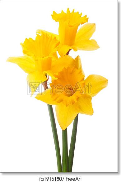 Free Art Print Of Daffodil Flower Or Narcissus Bouquet