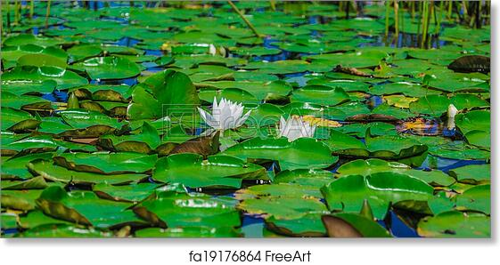 Free Art Print Of A Lot Of Lily Pads On A Lake Many Lily Pads And