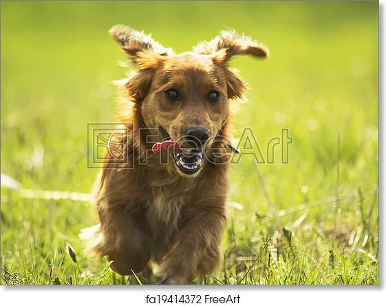 Free Art Print Of Young Daschund Puppy Dog Running On A Field Image