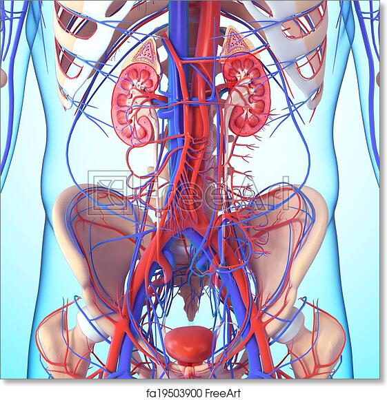 Free Art Print Of Anatomy Of Kidney Cross Section 3d Rendered