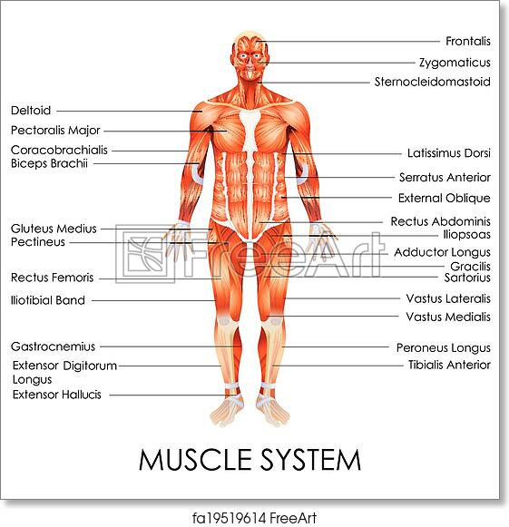 Free art print of Muscular System. Vector illustration of diagram of ...