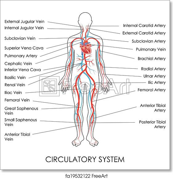 Free Art Print Of Circulatory System Vector Illustration Of Diagram