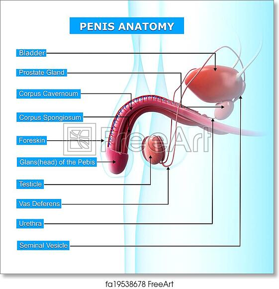 Free Art Print Of Male Urinary System With Names 3d Rendered