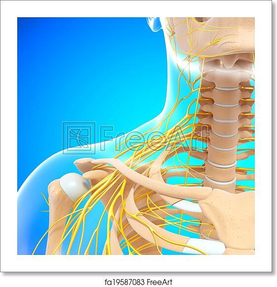Free Art Print Of Nervous System Of Human Shoulder 3d Rendered