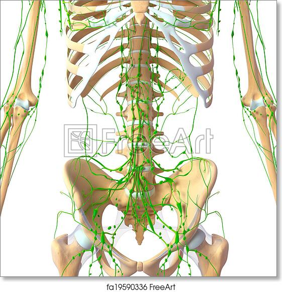 Free Art Print Of Lymphatic System Of Human Pelvis 3d Rendered