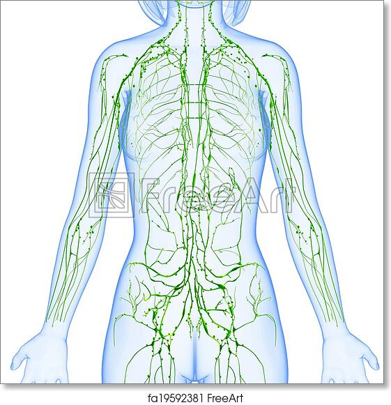 Free art print of lymphatic system of female body 3d rendered free art print of lymphatic system of female body ccuart Images