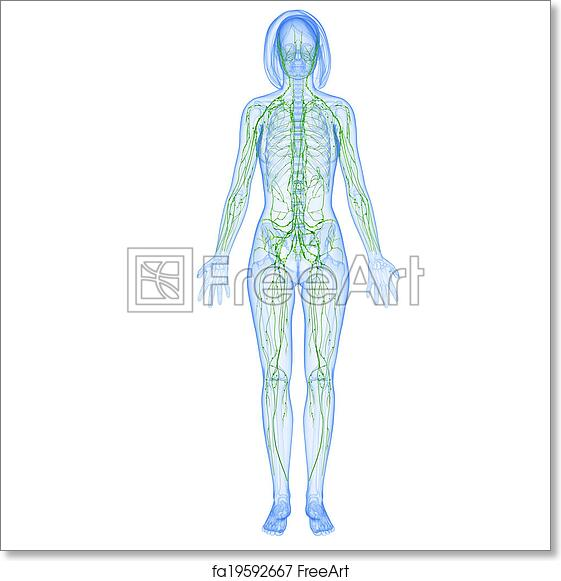 Free art print of Lymphatic system of female body. 3d rendered ...