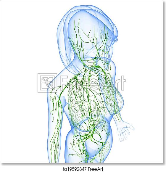 Free Art Print Of Lymphatic System Of Female Body 3d Rendered