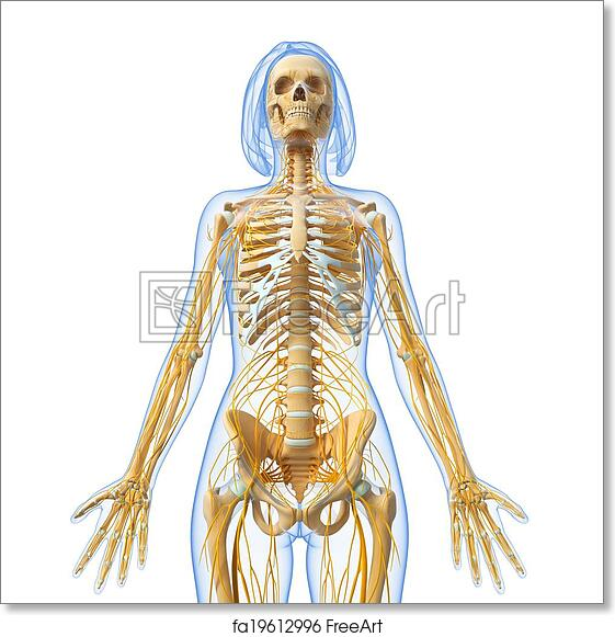 Free Art Print Of Nervous System Of Female Body 3d Rendered