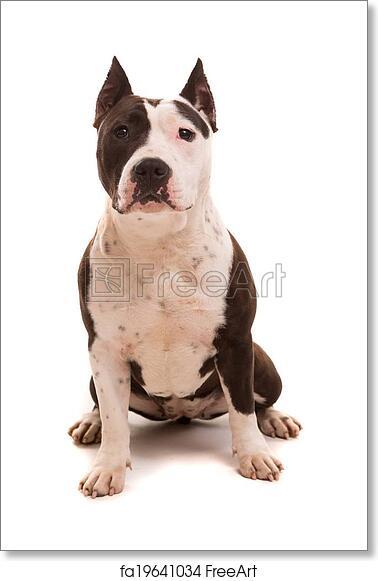 Free art print of American Staffordshire Terrier
