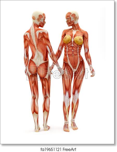 Free art print of Female musculoskeletal system. Female ...