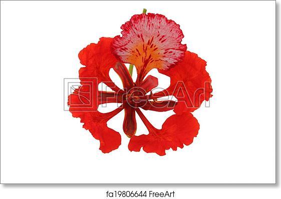 Free Art Print Of Gulmohar Flower In White Background Gulmohar