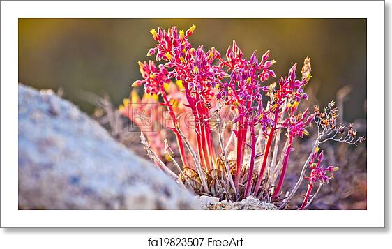 Free Art Print Of Pink And Yellow Desert Flowers Freeart Fa19823507