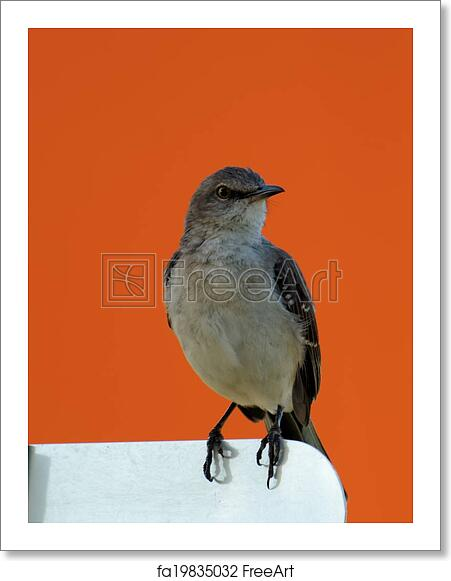 free art print of florida state bird northern mockingbird