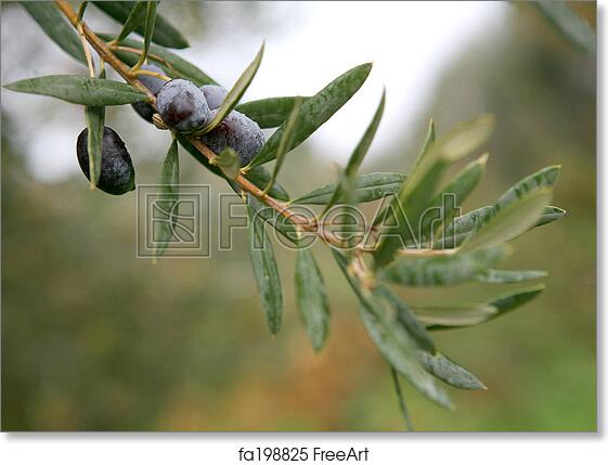 Free Art Print Of Olive Branch 2 An Olive Branch With Ripe Olives