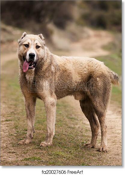 Alabai free art print of alabai dog. alabai dog in high contrasted grey