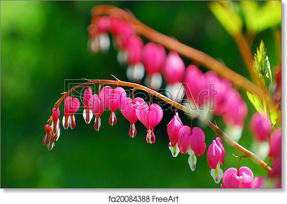 Free art print of bleeding heart flowers dicentra spectabilis free art print of bleeding heart flowers dicentra spectabilis mightylinksfo