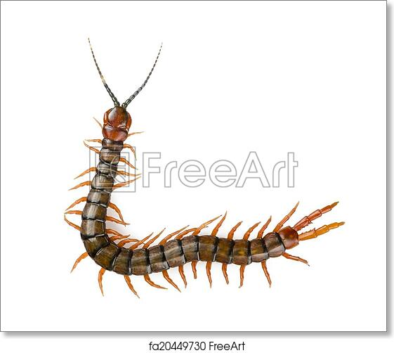 Free art print of Centipede Isolated