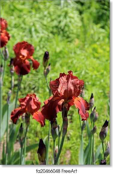 Free art print of Bearded Iris in sunny garden. Beautiful burnt ...