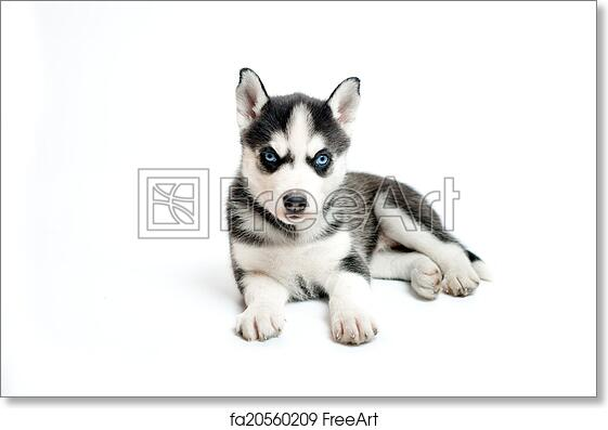 Free Art Print Of Cute Little Siberian Husky Puppy Isolated On White