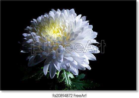 Free art print of white chrysanthemum white chrysanthemum on a free art print of white chrysanthemum mightylinksfo