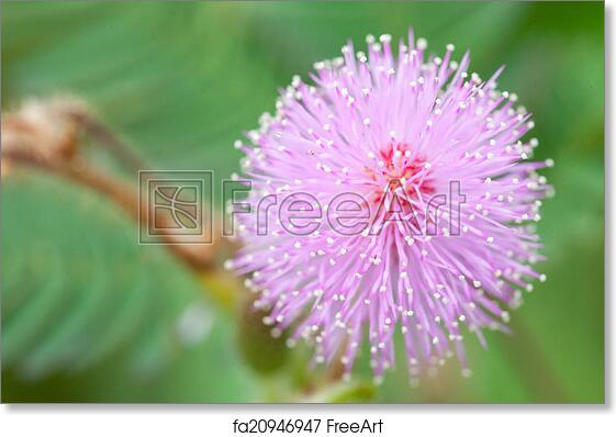 Free Art Print Of Mimosa Flowers Mimosa Flowers In The Morning