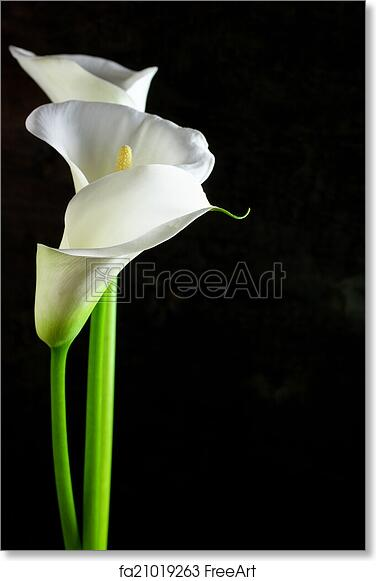 Free Art Print Of Calla Lilies Bouquet Of Calla Lilies On Black