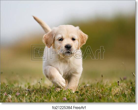 Free Art Print Of Golden Retriever Puppy Running Towards Camera