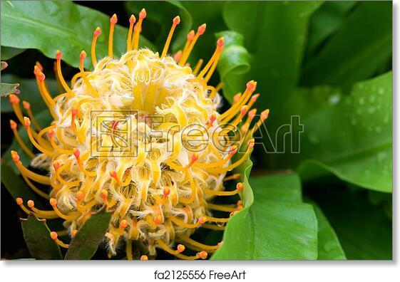 Free Art Print Of Yellow Blooming Protea Pincushion