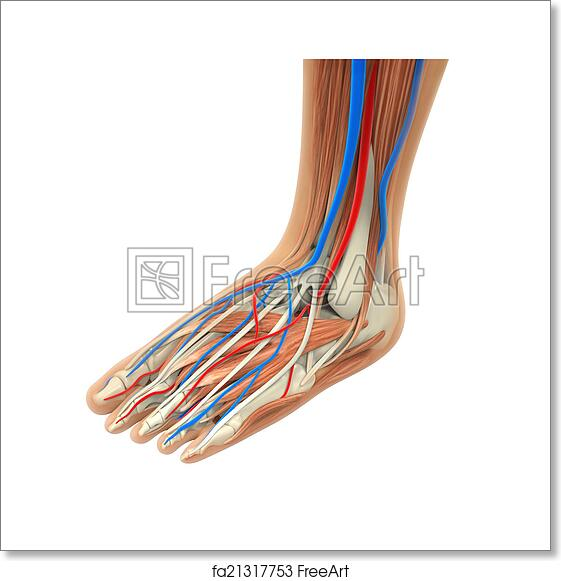 Free Art Print Of Human Foot Muscles Anatomy Human Foot Muscles