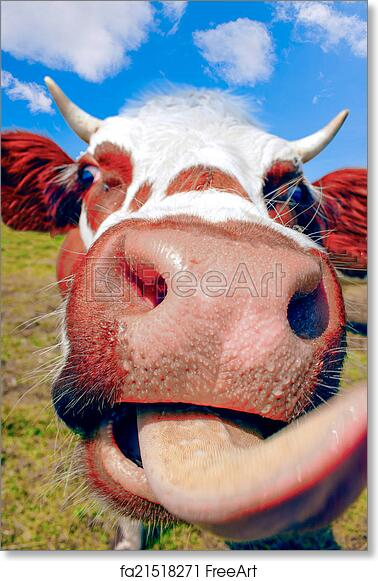 Free art print of Cow sticking tongue out in the mountains