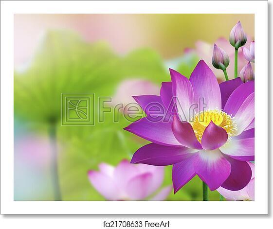 Free Art Print Of Beautiful Purple Lotus Water Plant Lotus Flower
