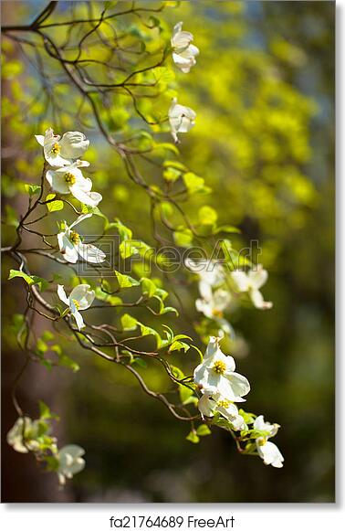 Free art print of white flowering dogwood tree white flowering free art print of white flowering dogwood tree mightylinksfo