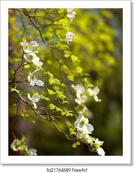 Free Art Print Of White Flowering Dogwood Tree White Flowering