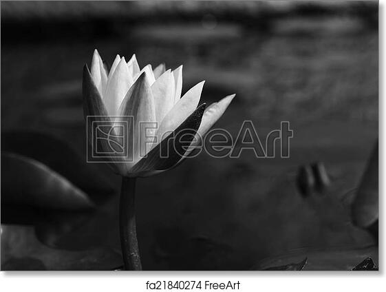 Free art print of Lotus flower, black and white monochrome | FreeArt ...