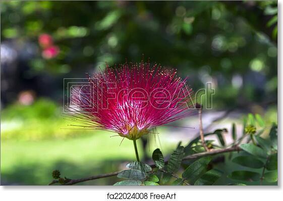 Free art print of albizia julibrissin flower on green background free art print of albizia julibrissin flower on green background mightylinksfo