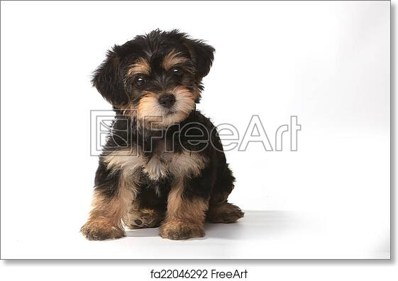 Free Art Print Of Tiny Miniature Teacup Yorkie Puppy On White