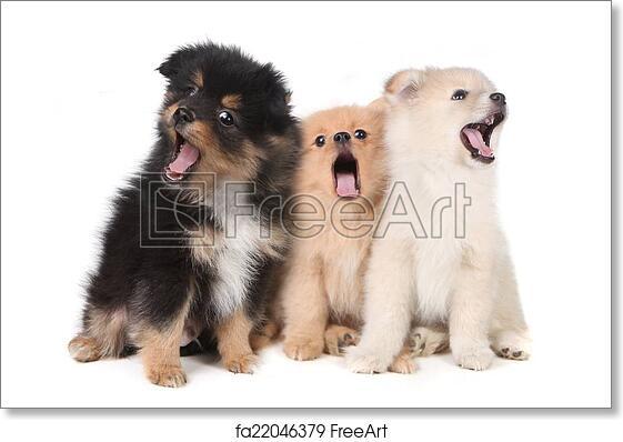 Free Art Print Of Howling Singing Pomeranian Puppies On White