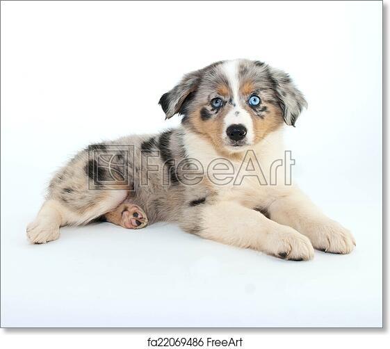 Free art print of Australian Shepherd Puppy