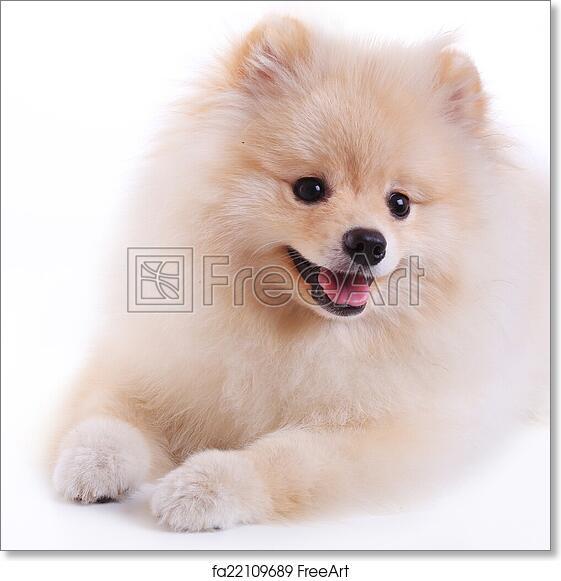 Free Art Print Of White Pomeranian Puppy Dog Cute Pet Freeart