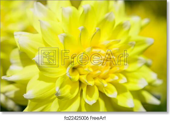Free art print of yellow dahlia a bright yellow flower dahlia free art print of yellow dahlia a bright yellow flower dahlia closeup flora background freeart fa22425006 mightylinksfo