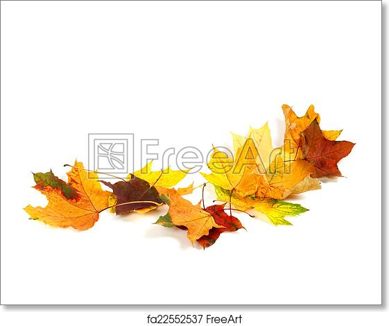 Free Art Print Of Autumn Dry Maple Leafs Isolated On White Background Autumn Dry Maple Leafs Isolated On White Background Autumn Background With Copy Space Freeart Fa22552537