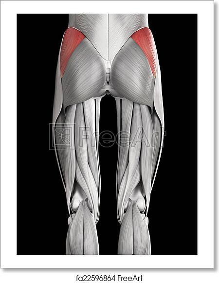 Free art print of gluteus medius. Human muscle anatomy - gluteus ...