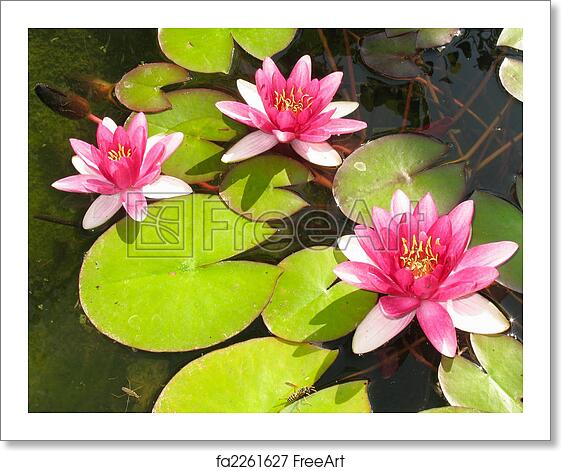 Free Art Print Of Beautiful Blooming Red Water Lily Lotus Flower
